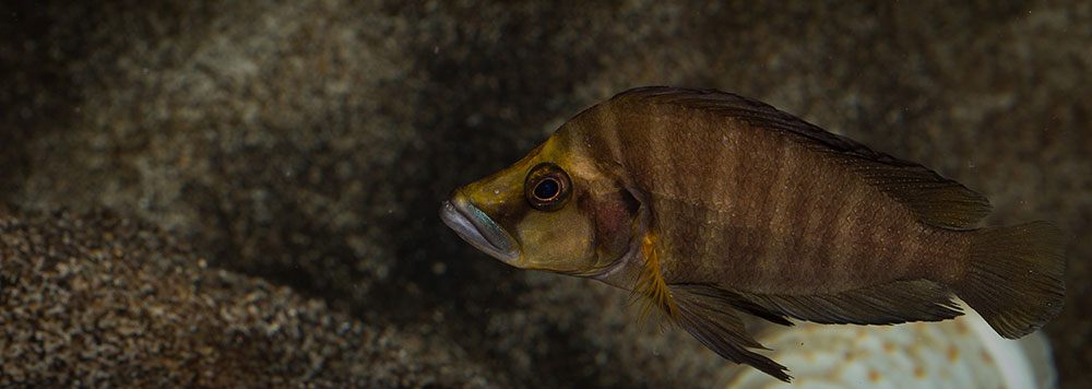 Altolamprologus compressiceps Goldhead MG 0287